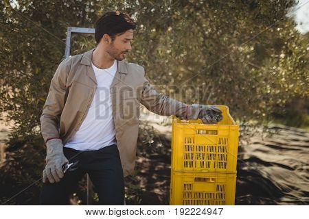 Handsome young man collecting olives in crate at farm