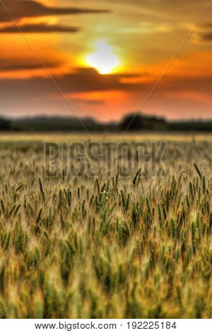 Wheat field at sunset with sun in frame