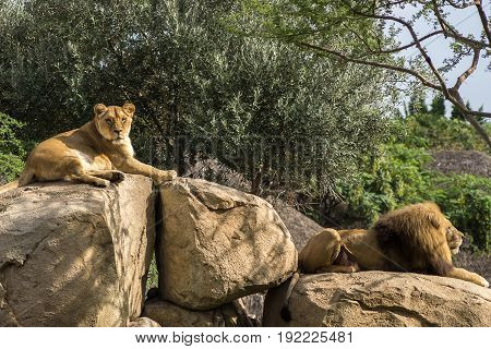 Male Lion old specimens with abundant mane, and Female lioness looking at the camera Sitting on a Rock