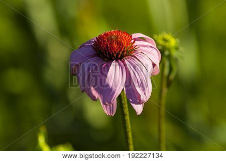 a cone flower in the early morning sun