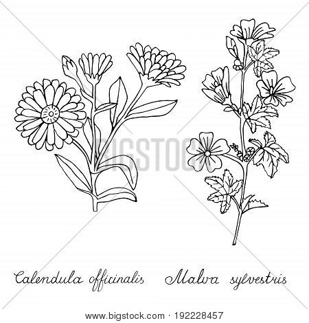 Calendula officinalis and Malva sylvestris hand drawn on white. Object isolated.