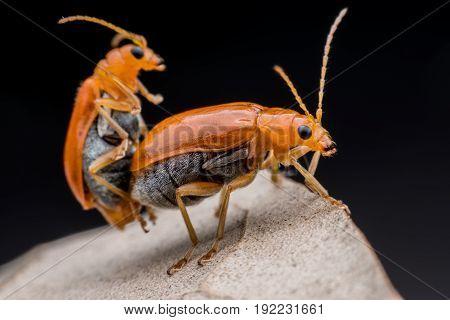 Close up Cucumber or Cucurbit  beetle  mating on dried leaf