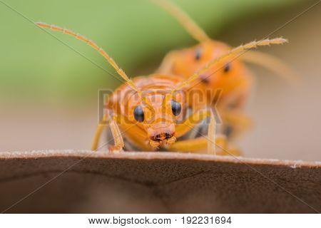 Close up Cucumber or Cucurbit beetle mating on leaf