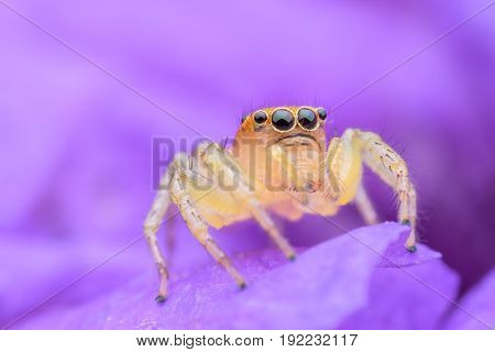 Close up Jumping spider on purple flower