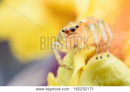 Super macro Jumping spider on yellow flower