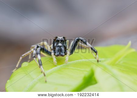 Close up male Phintella versicolor or Jumping spider on green leaf