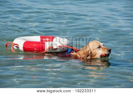 Lifeguard dog and instructor at the beach during training.