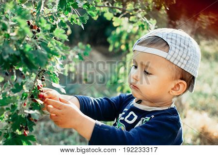 The Little Boy In The Garden, Gathers Currants