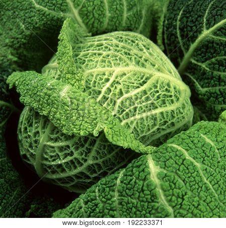 Fresh cabbage food fresh cabbage green food