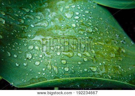 Green leaf with raindrops on its surface macro. Vegetation - the lungs of the planet. Background Dew on grass.