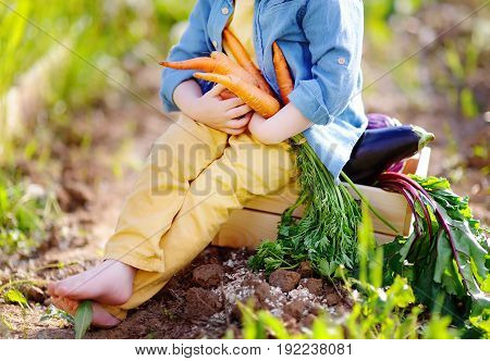 Unrecognizable Little Boy Holding A Bunch Of Fresh Organic Carrots In Domestic Garden