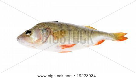 Fresh fish (Scardinius erythrophthalmus) on an isolated white background