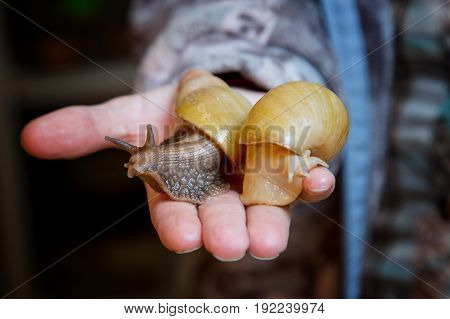 Home snail Achatina in the palm of your hand