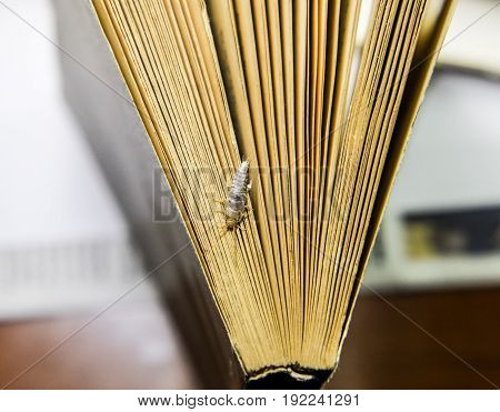 Insect Feeding On Paper - Silverfish. Silverfish At The End Of The Book.