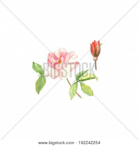 Botanical watercolor illustration sketch of pink rose and bud on white background. Could be used as decoration for web design, cosmetics design, package, textile