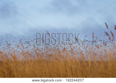 A Beautiful Early Spring Landscape With A Flying Flock Of Migratory Geese Over A Forest Of Reeds