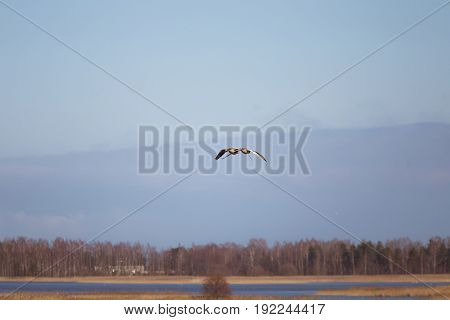 Two Beautiful Geese Flying In An Early Spring Landscape