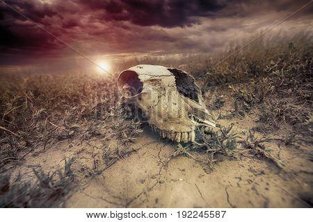 Animal skull in the desert against the sunset background.