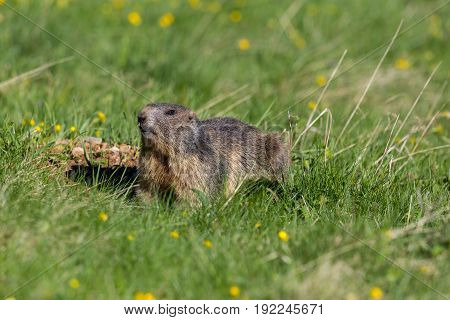 Portrait Of Groundhog (marmota Monax) In Grassland