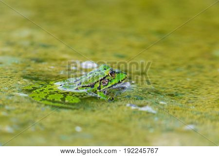 portrait of natural green frog (Rana esculenta) sitting in water poster