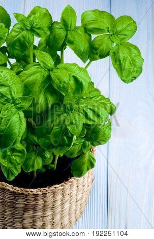 Lush Foliage Fresh Green Basil with Water Drops in Wicker Flower Pot Cross Section on Blue Wooden background