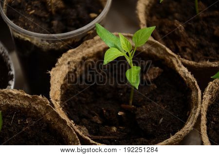 The small sprouts of Bulgarian pepper in round peat pots
