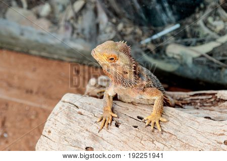 Lizard - Pogona vitticeps - Bearded Agama sits on felled trees at the Australian Zoo Gan Guru in Kibutz Nir David in Israel