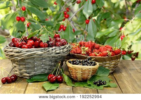 Summer gifts: sweet cherry strawberry and black currant in wicker baskets on wooden desk on background of cherry tree's branches with ripe red berries