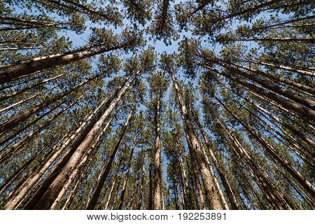 Looking straight up through a stand of tall pine trees at a blue sky. Located at Oak Openings Ohio at a place known as