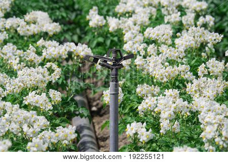 Irrigation system with white flowering potato plants on the field