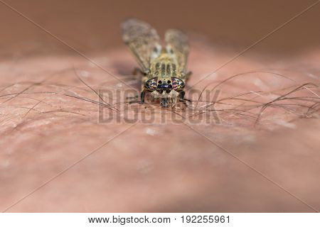 Horsefly biting human skin. Notch-horned Cleg or cleg fly (Haematopota pluvialis) piercing man's arm with mouthparts. Insect in the family Tabanidae
