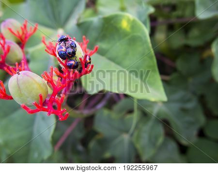 Harlequin Bugs on a bud on a plant near Lake Victoria in Uganda.