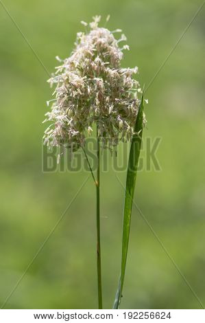 Cock's-foot (Dactylis glomerata) grass in flower. Coarse grass in the family Poaceae with pollen-producing stamens in a British meadow