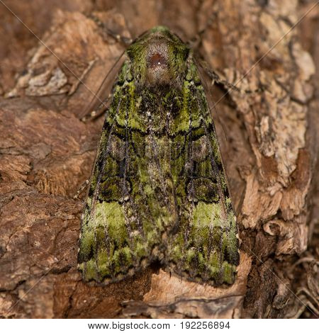 Green arches (Anaplectoides prasina) moth. Camouflaged woodland insect in the family Noctuidae locally distributed in the UK