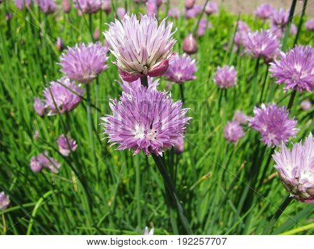 Chives flowers in a herb garden in june