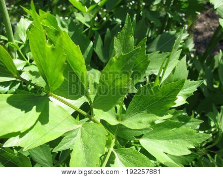 Lovage leaves herbs in a herb garden