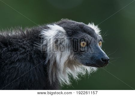Portrait of black and white ruffed lemur at smooth background adult male