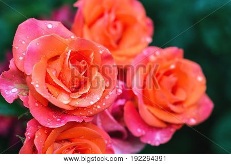 Closeup to pink roses in bunch with drops of rain (dew)