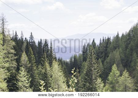 Pine forest on the mountain Pokljuka Slovenia