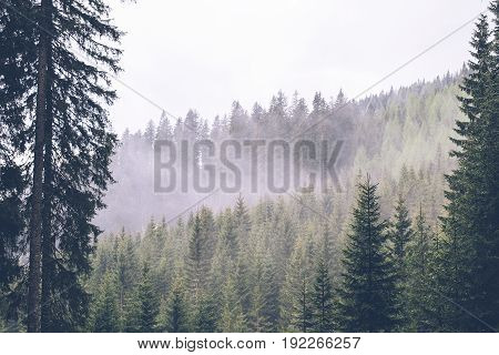 View at the pine forest on mountain