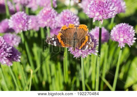 Dorsal view of red admiral (vanessa atalanta) butterfly sitting on a chive blossom shallow depth of field macro