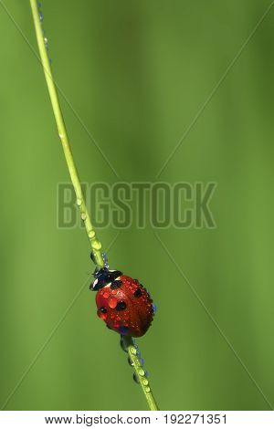 View of lonely ladybird on a stalk of grass
