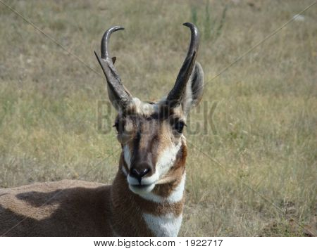 Closeup of Pronghorn with horns at Custer State Park South Dakota poster