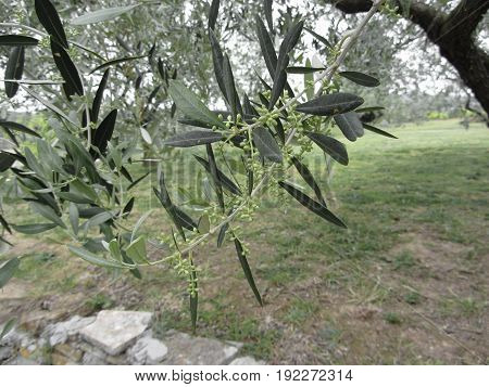 Olive tree branches with first buds . Tuscany Italy