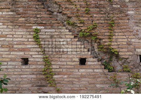 Old aged brick wall texture with cute green ivy leaves creeper climbing as background.
