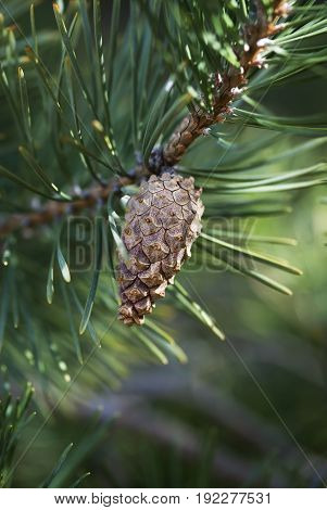 A pine cone hangs from the branch of an evergreen tree.