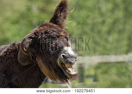 Dumb animal. Stupid looking jackass. Hairy laughing donkey. Funny animal meme image with copy space. Wonky donkey.