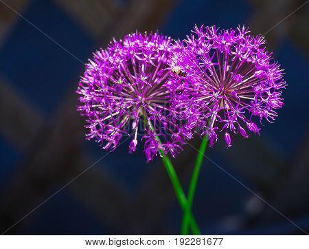Allium hollandicum 'Purple Sensation' (Dutch Garlic or Persian Onion) in a flowerbed. Blooming Allium. Allium, giant onion, Giganteum in full flower growing in the garden.
