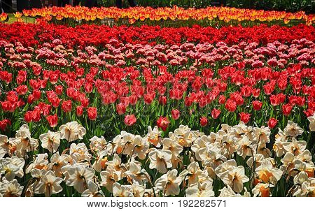 Flower bed of multicolored tulips, Keukenhof, the Netherlands. Colorful tulips bloomed in spring. Selective focus