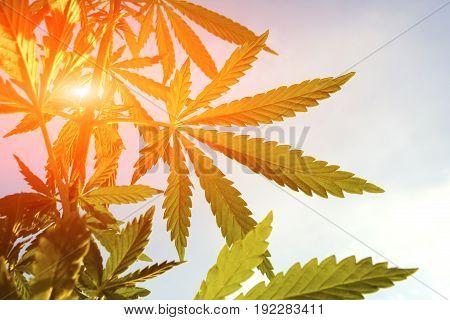 Marijuana. Hemp. Cannabis In Sunlight, Like A Good Background. Cannabis Leaf On A Blurred Background